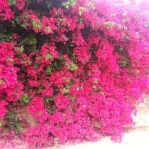 bouganville in fiore