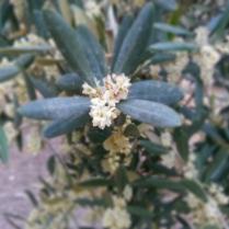 fiore di ulivo